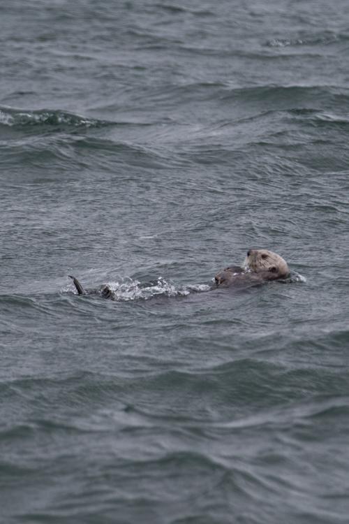 Homer-spit-sea-otter