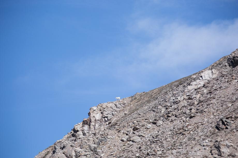 denali national park alaska dall sheep