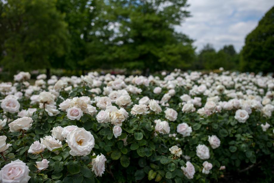 White roses in Queen Mary's Garden Regent Park
