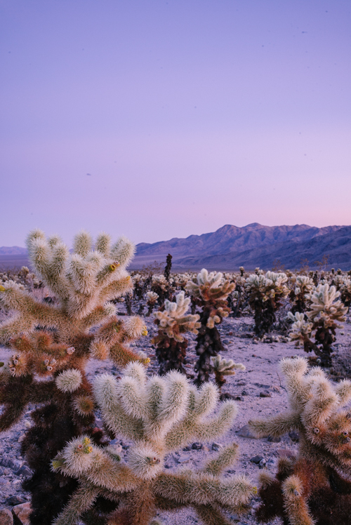 Pink Sunset at Cholla Cactus Garden in Joshua Tree