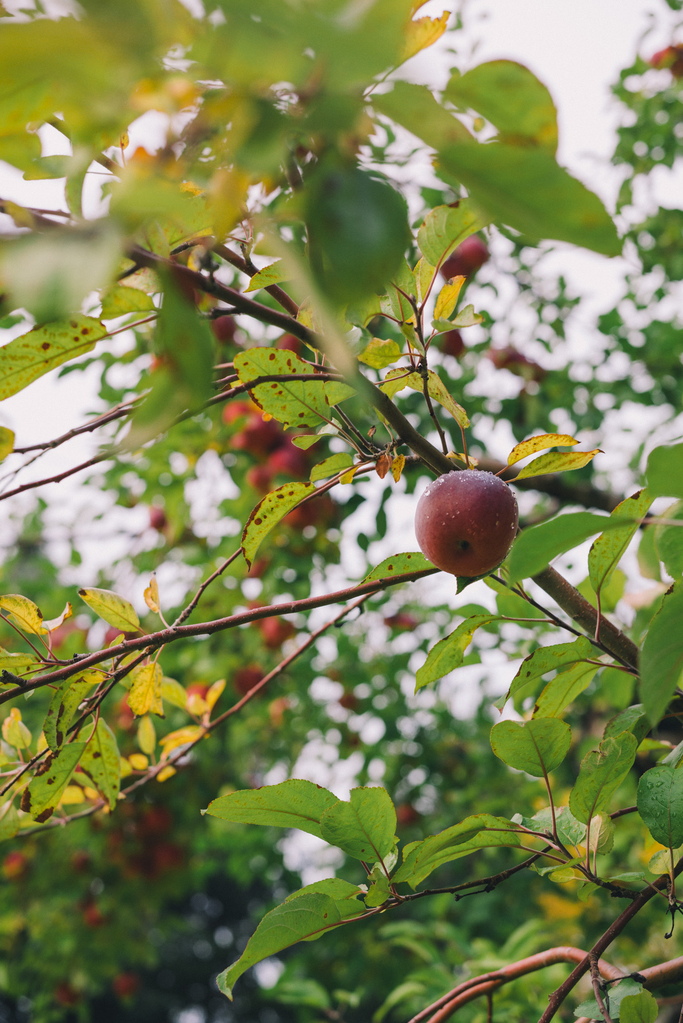 gmg-apple-picking-vermont-fall-1000565